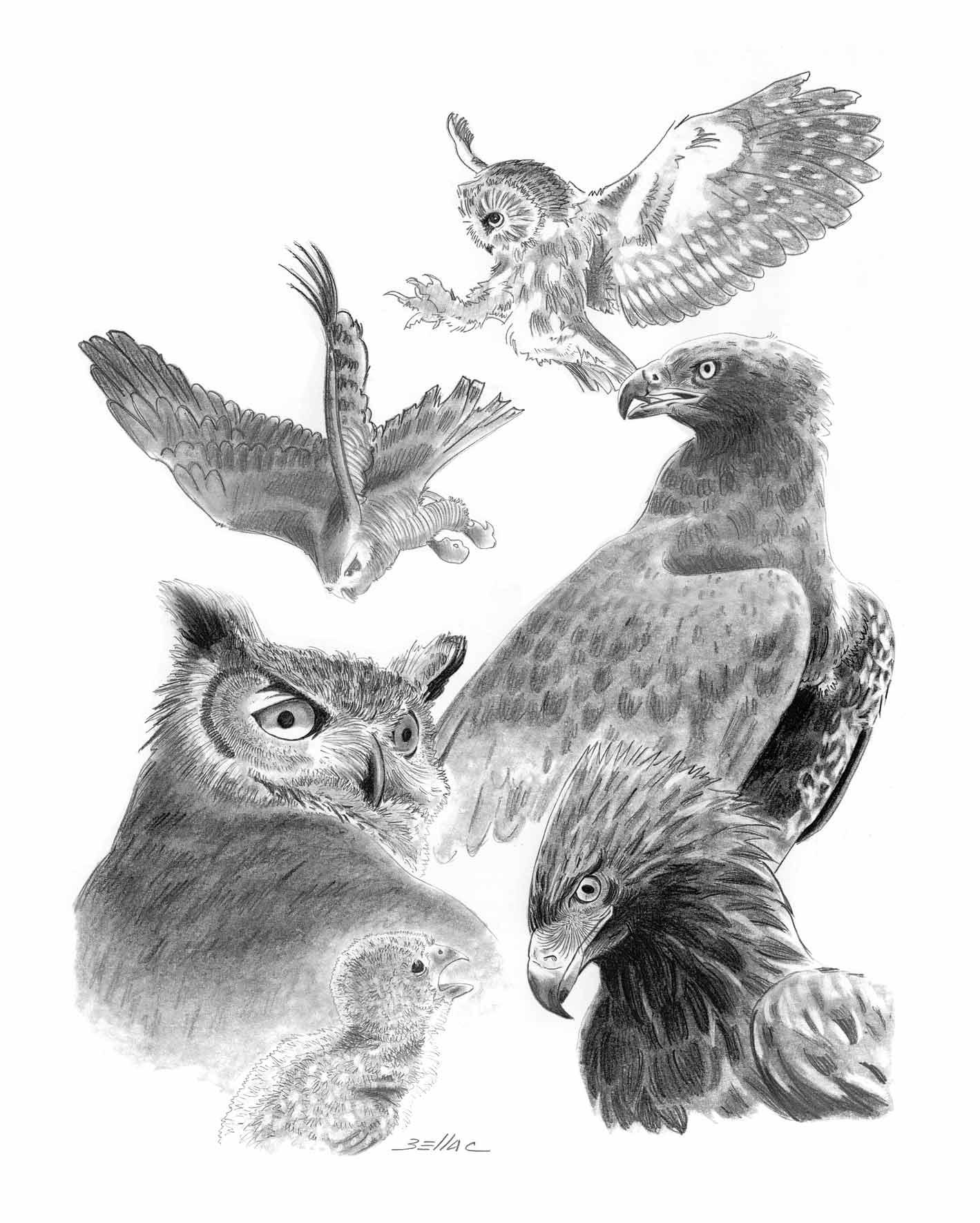 illustration au crayon - Des rapaces